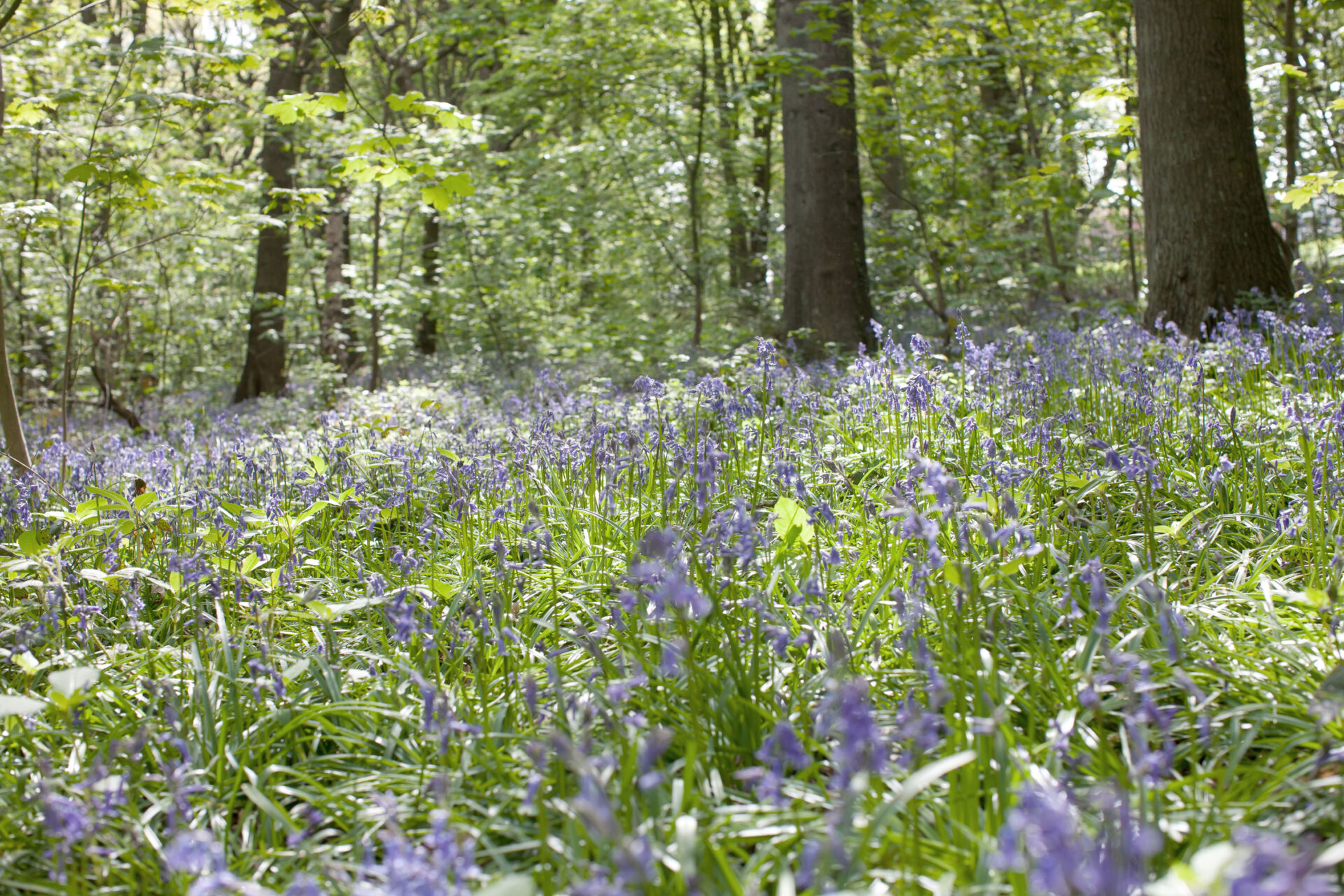 – Shaw & Shaw Photography – Shaw and Shaw Photographers Manchester – advertising photographers – graphic image – Kirkstall Forge – blue bells in the woods